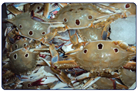 Three Spotted Crab